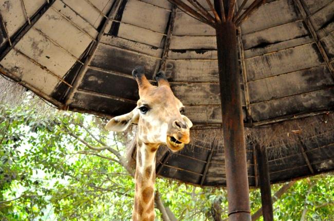 00E_Zoo Chimelong (12)